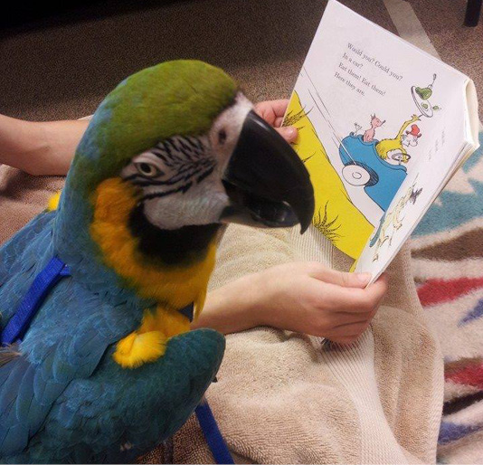 Would you, could you, with a bird? Buddy the macaw in action at Red Mountain Library in Mesa, Arizona. Photo courtesy Paws 2 Read, Arizona.